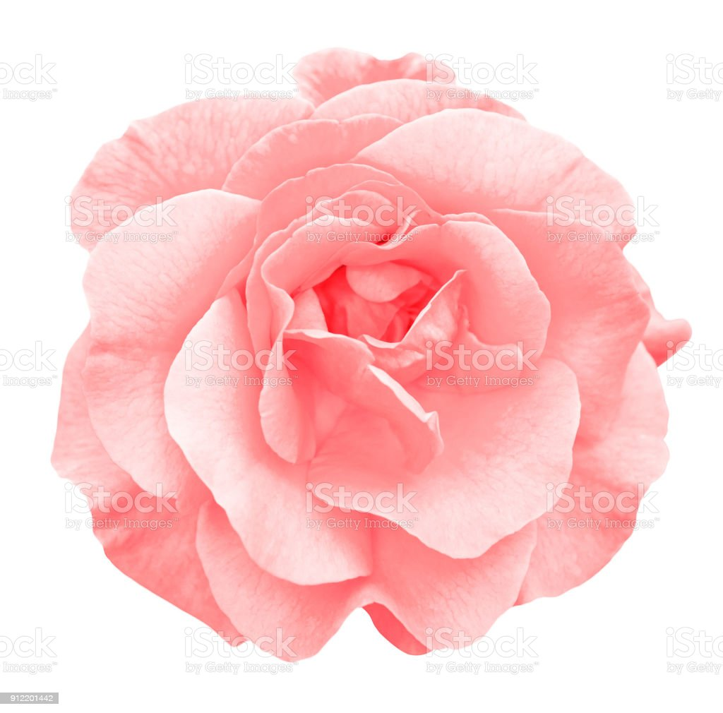 Tender red rose flower macro isolated on white
