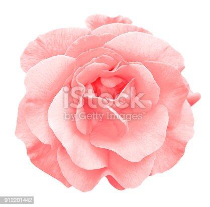 Tender red rose flower macro isolated on white