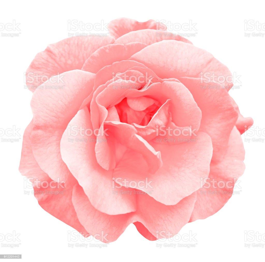 부드러운 붉은 장미 꽃 매크로 흰색 절연 스톡 사진