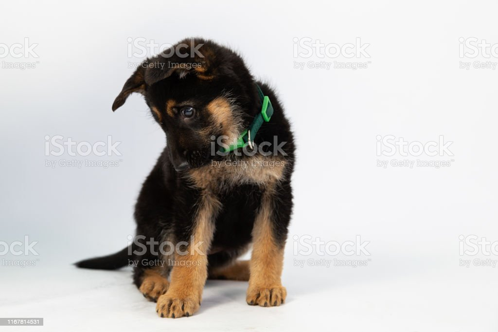 Tender Shy German Shepherd Puppy Looking Down In Studio With White Background Baby Dog Stock Photo Download Image Now Istock