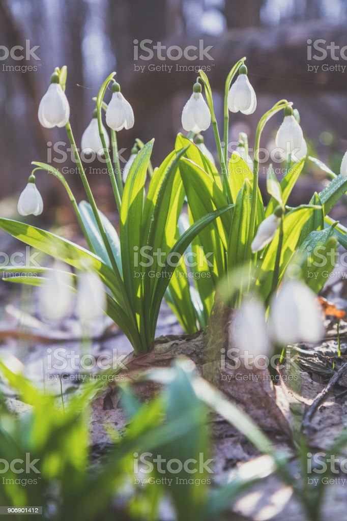 Tender snowdrops in the spring forest on a sunny day. Beautiful spring background with copy space. Processing photo with soft focus stock photo