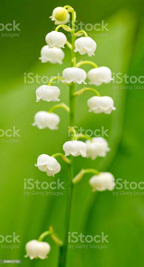 tender spring lily of the valley flower in the natural background stock photo