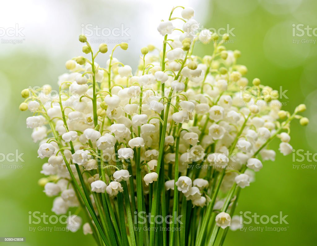 Tender spring lily of the valley flower in the natural background tender spring lily of the valley flower in the natural background royalty free stock photo izmirmasajfo