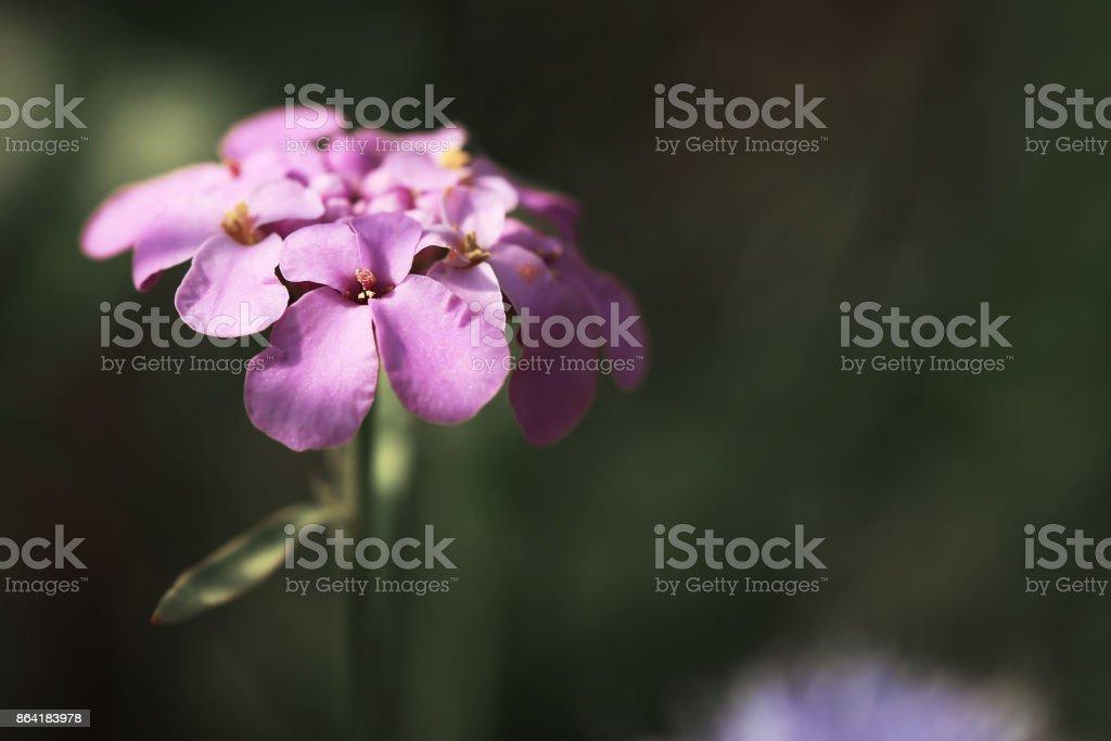 tender sweet ping flower. Nature ourdoor royalty-free stock photo