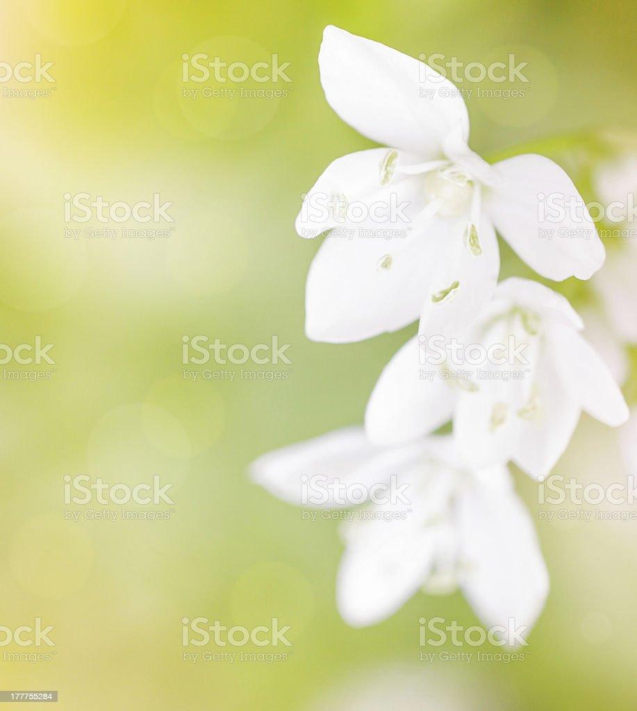 Tender white flowers royalty-free stock photo