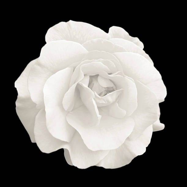 嫩白色玫瑰花宏孤立黑色 - 在開花 個照片及圖片檔