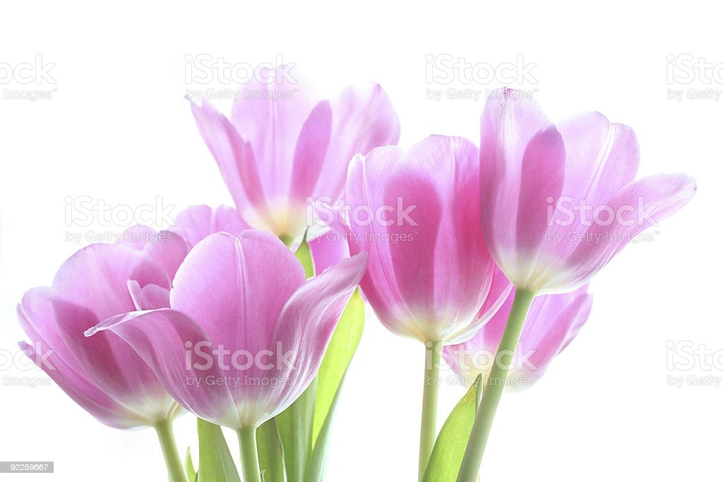 tenderly pink tulips royalty-free stock photo
