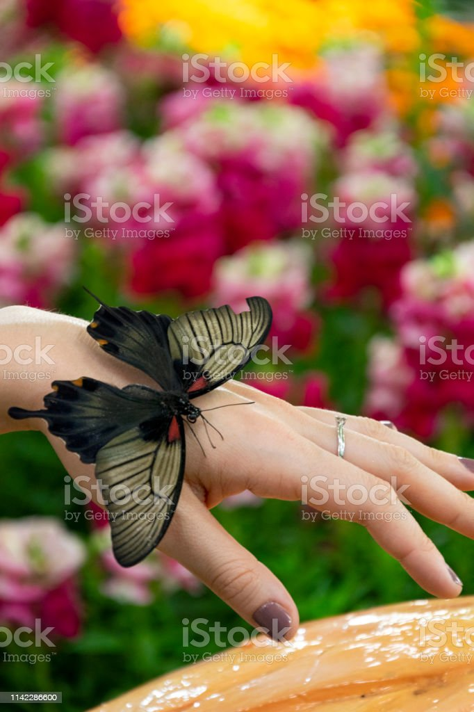 Big black butterfly sitting on the hand of a white caucasian young...