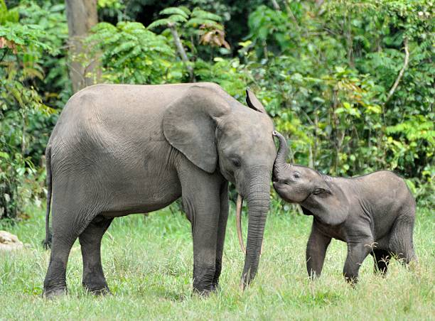 Tenderness The elephant calf  and elephant cow The African Forest Elephant, Loxodonta africana cyclotis. At the Dzanga saline (a forest clearing) Central African Republic, Dzanga Sangha elephant calf stock pictures, royalty-free photos & images
