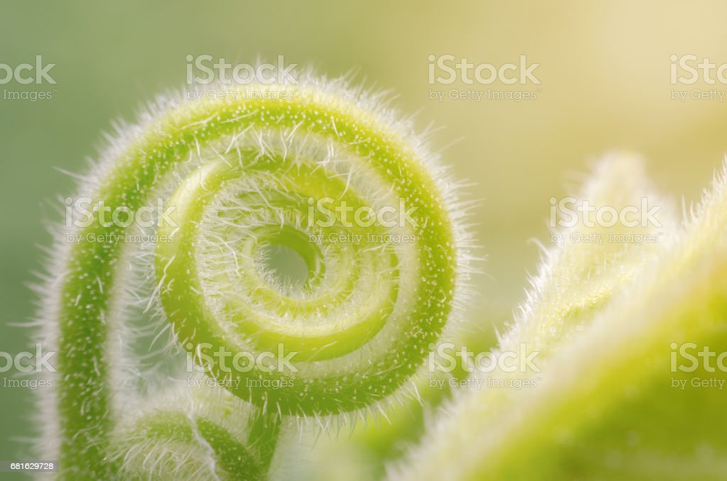 Tendril of green climbing plant growing in a spiral form. stock photo