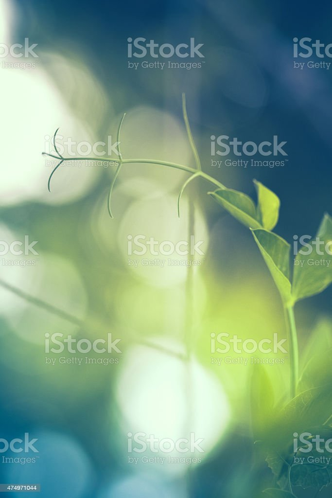 Tendrils of a garden pea vine reaching out stock photo
