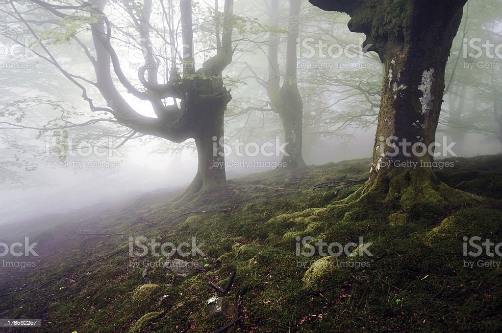Tenebrous beech forest with fog royalty-free stock photo