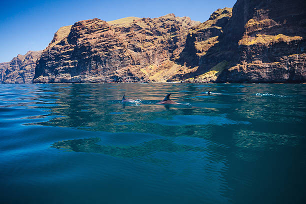 Tenerife Dolphins in Los Gigantes. Tenerife, Canary Islands, Spain. cetacea stock pictures, royalty-free photos & images