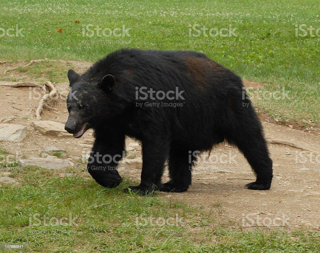 Tennesse black bear stock photo