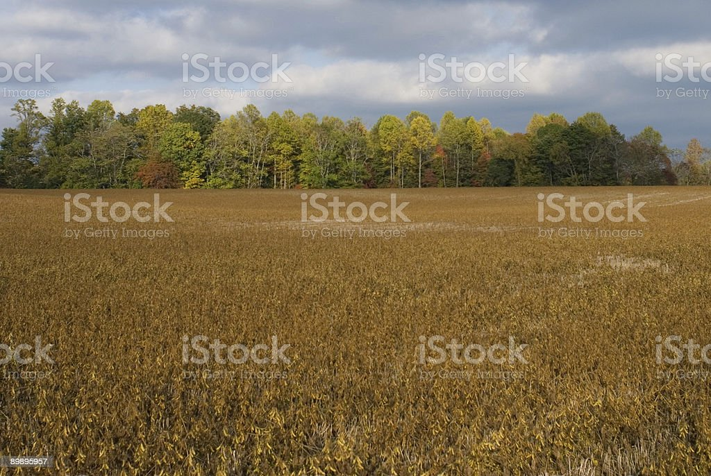 Tennesse Soybean royalty-free stock photo