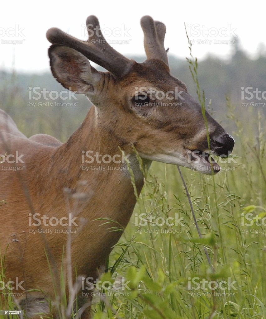 Tennessee buck stock photo