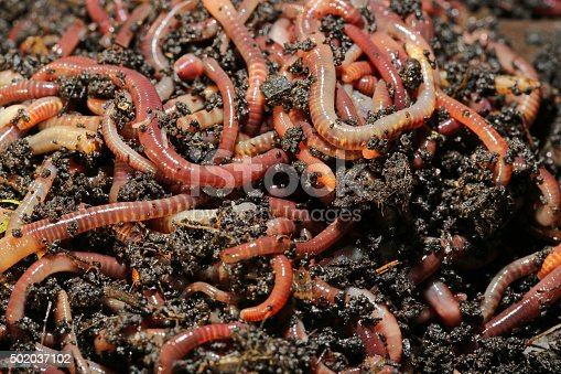 Earthworms (Dendrobena Veneta) called Tennessee Wiggler for Fishing or Compost
