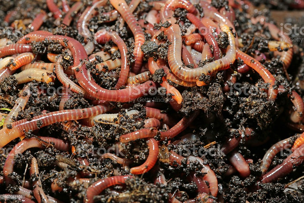 Earthworms – Foto