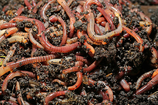 Tennessee Wiggler Earthworms (Dendrobena Veneta) called Tennessee Wiggler for Fishing or Compost worm stock pictures, royalty-free photos & images