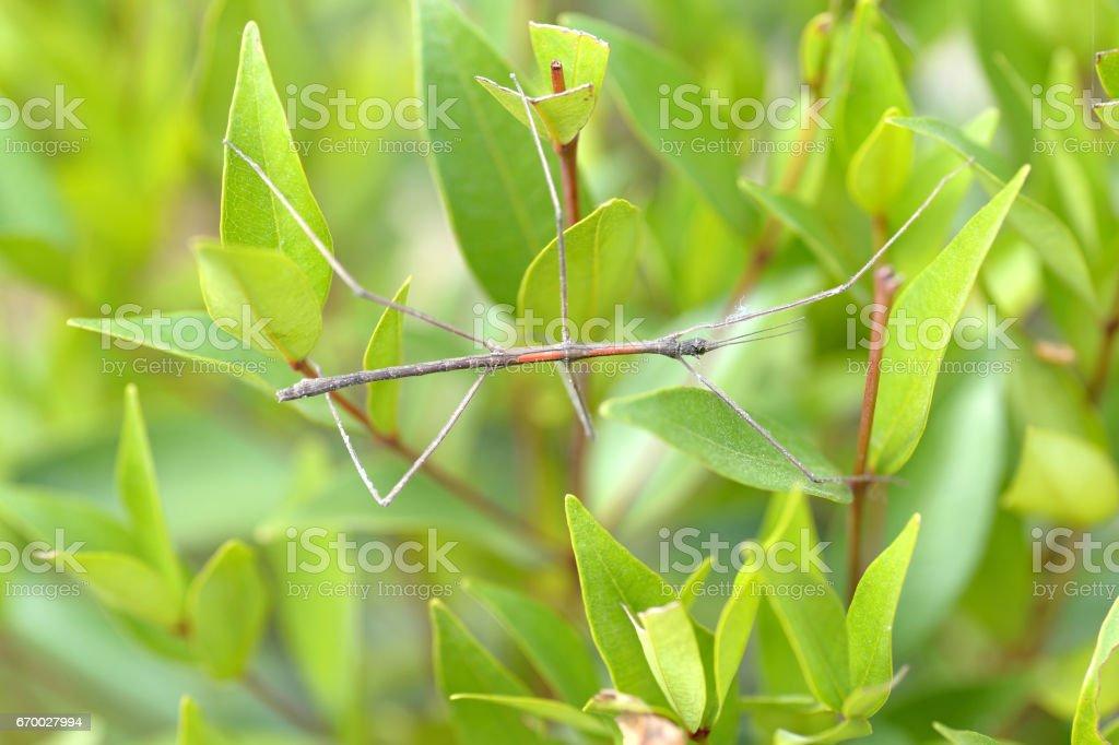 Tenodera Pinapavonis or Phobaeticus stock photo