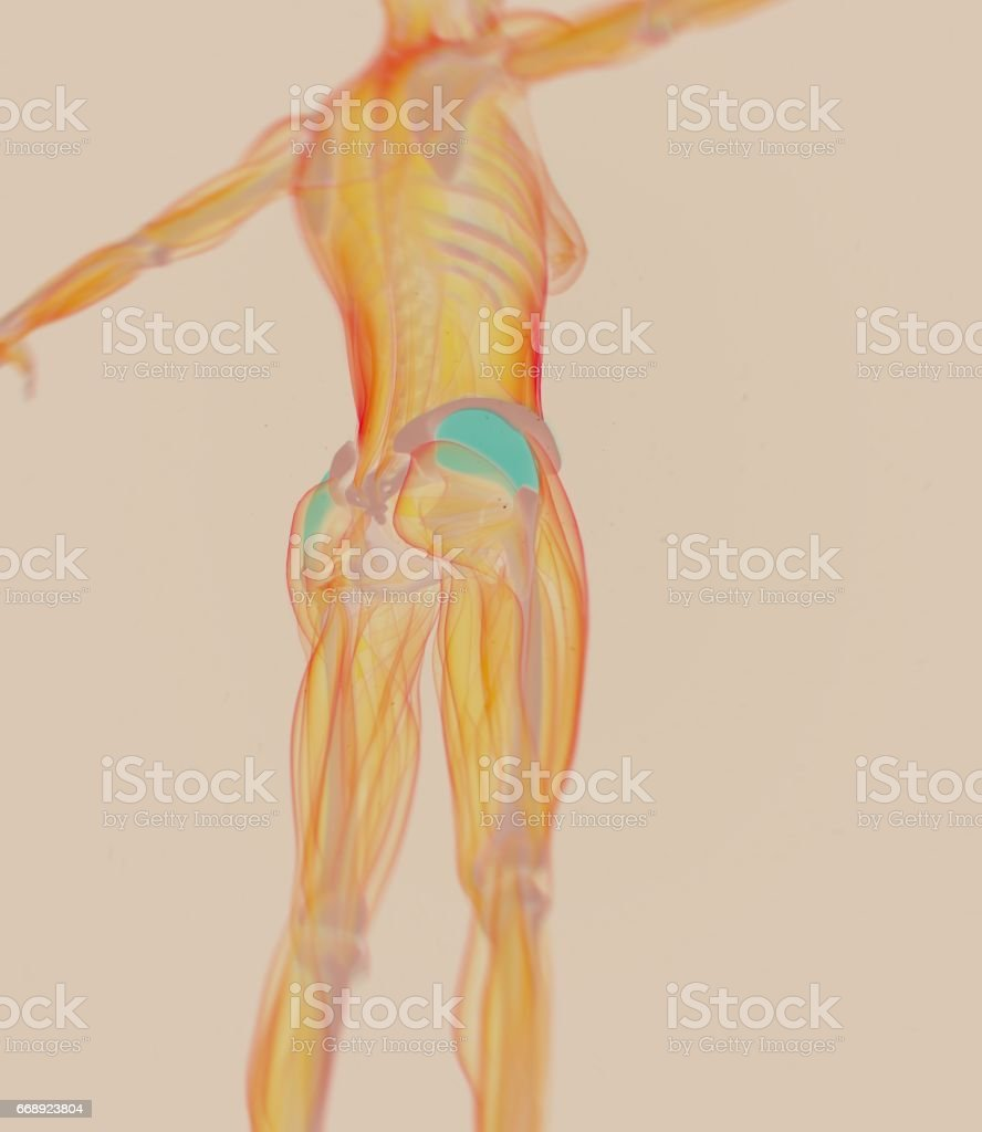 Tensor Fascia Latae Female Anatomy Hip Muscle 3d Illustration Stock ...