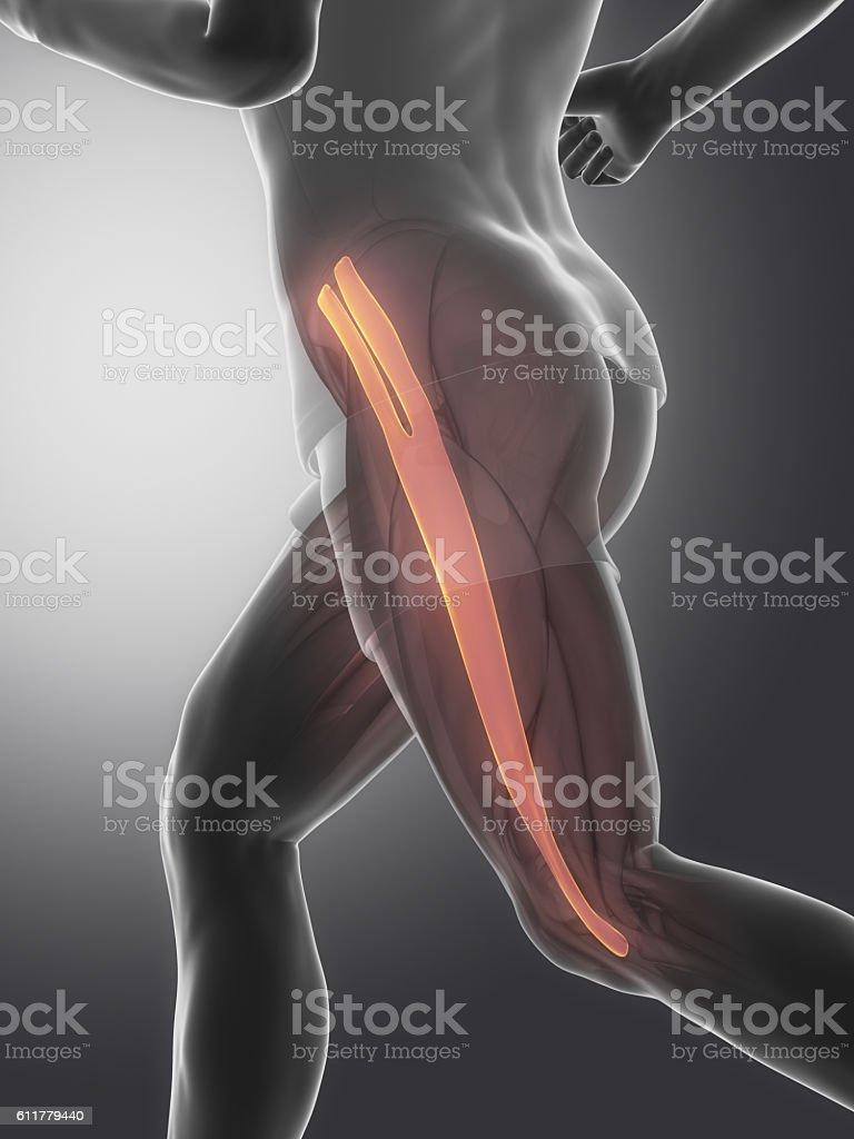Tensor fascia lateae - human muscle anatomy stock photo
