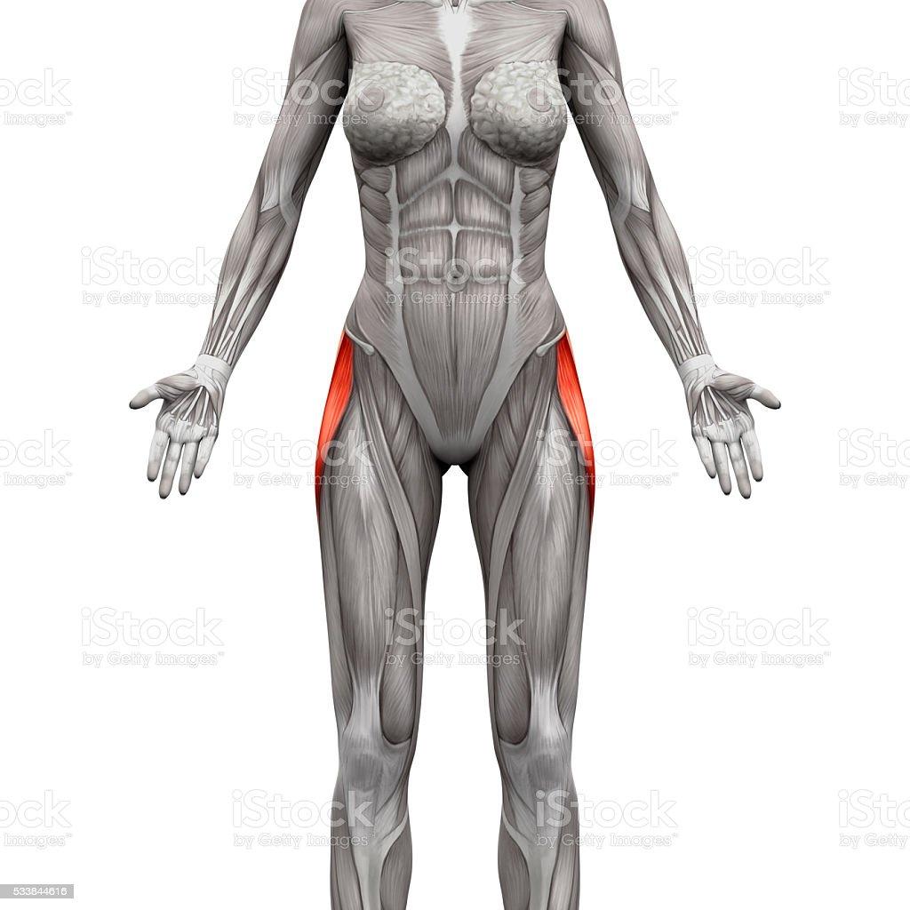 Tensor Faszien Latae Muskeln Anatomie Muskeln Isoliert Auf Weißem ...