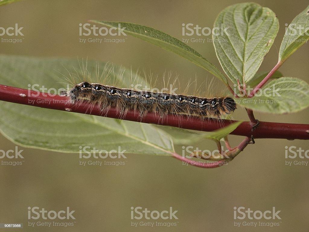Tent Caterpillar on Dogwood Macro stock photo