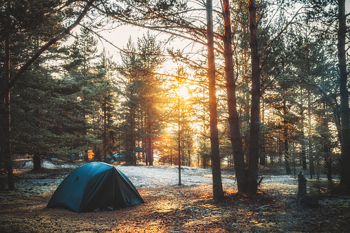 Tent in a pine forest on sunset