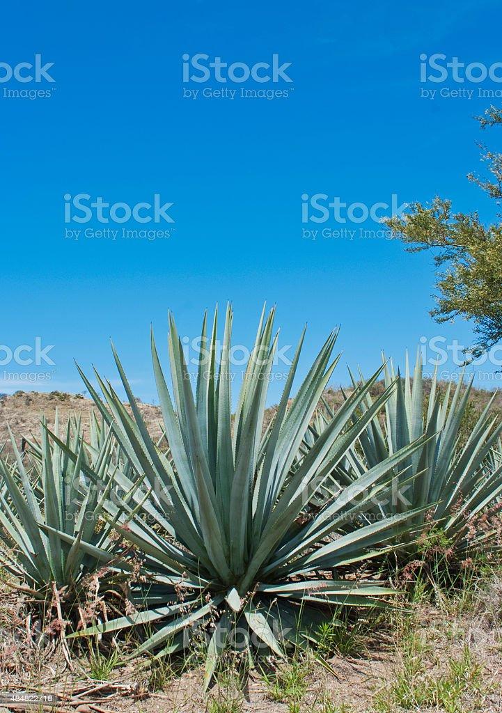 Tequila Landscape stock photo