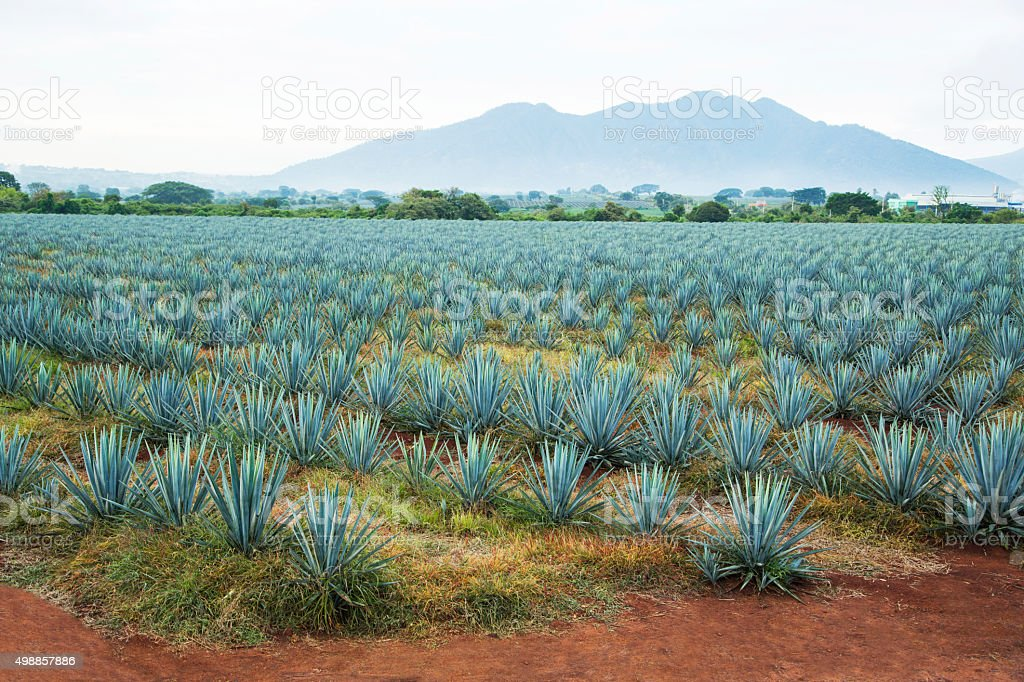 Tequila-Landschaft – Foto