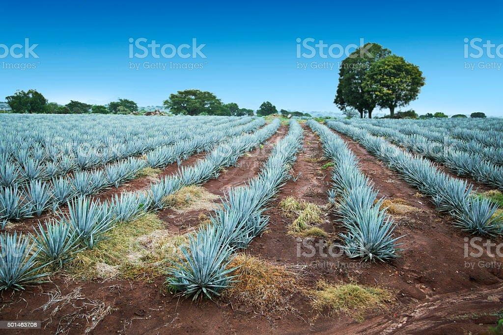 Tequila Krajobraz – zdjęcie