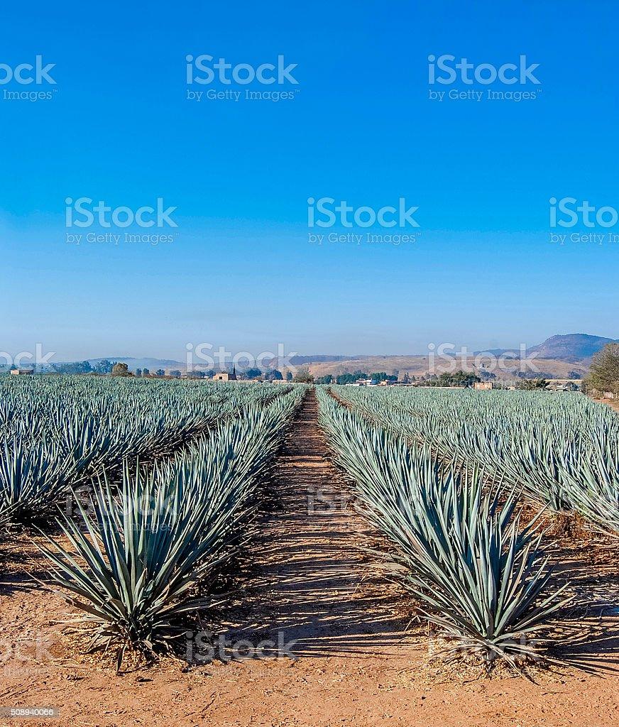 Paisaje de Tequila - foto de stock