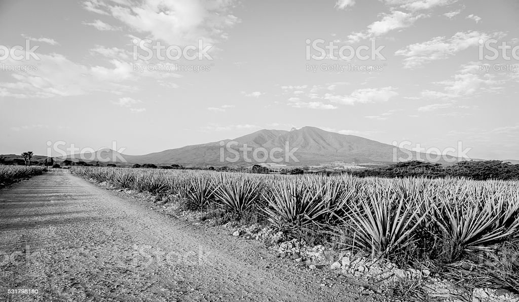 Tequila Landscape stock photo