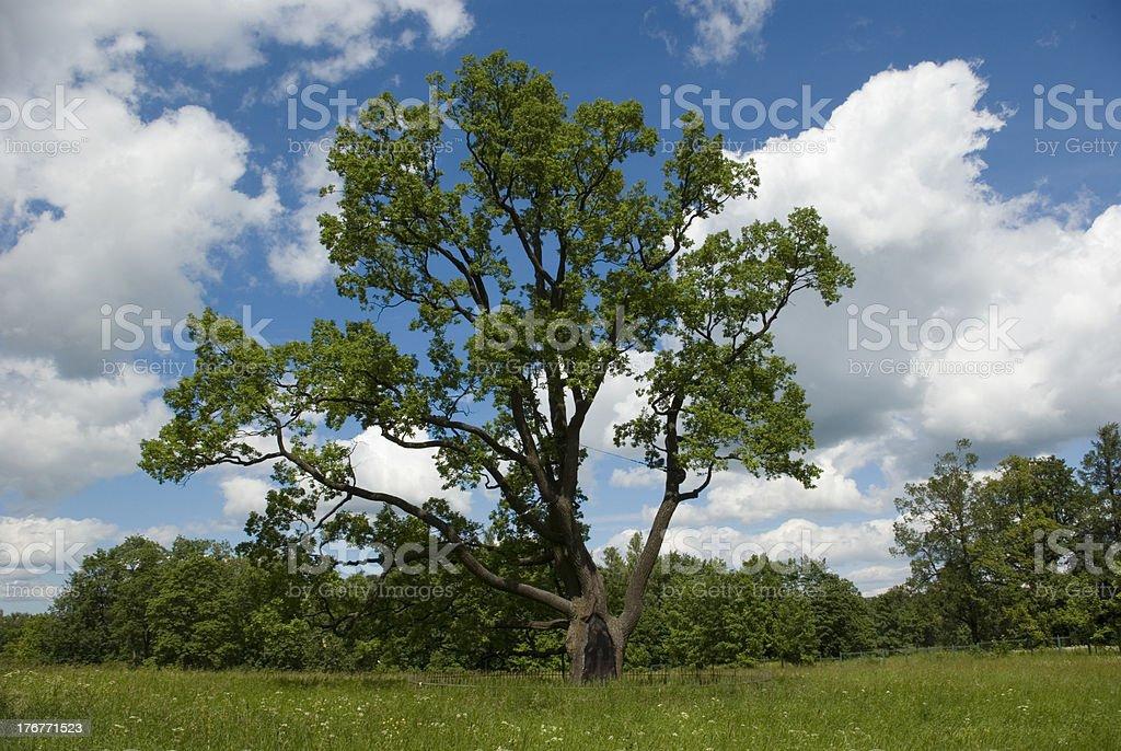 Tercentenary oak on the green lawn royalty-free stock photo