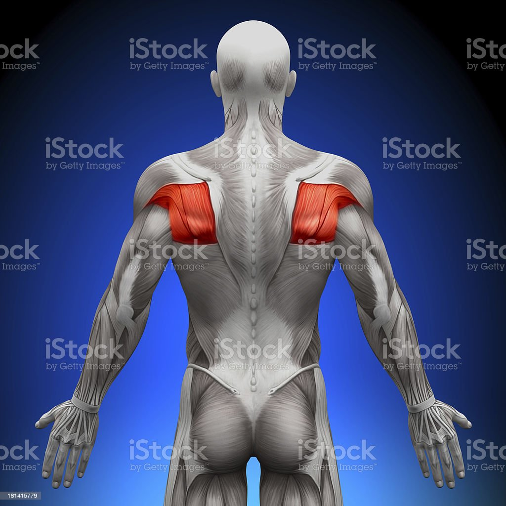Teres - Anatomy Muscles stock photo