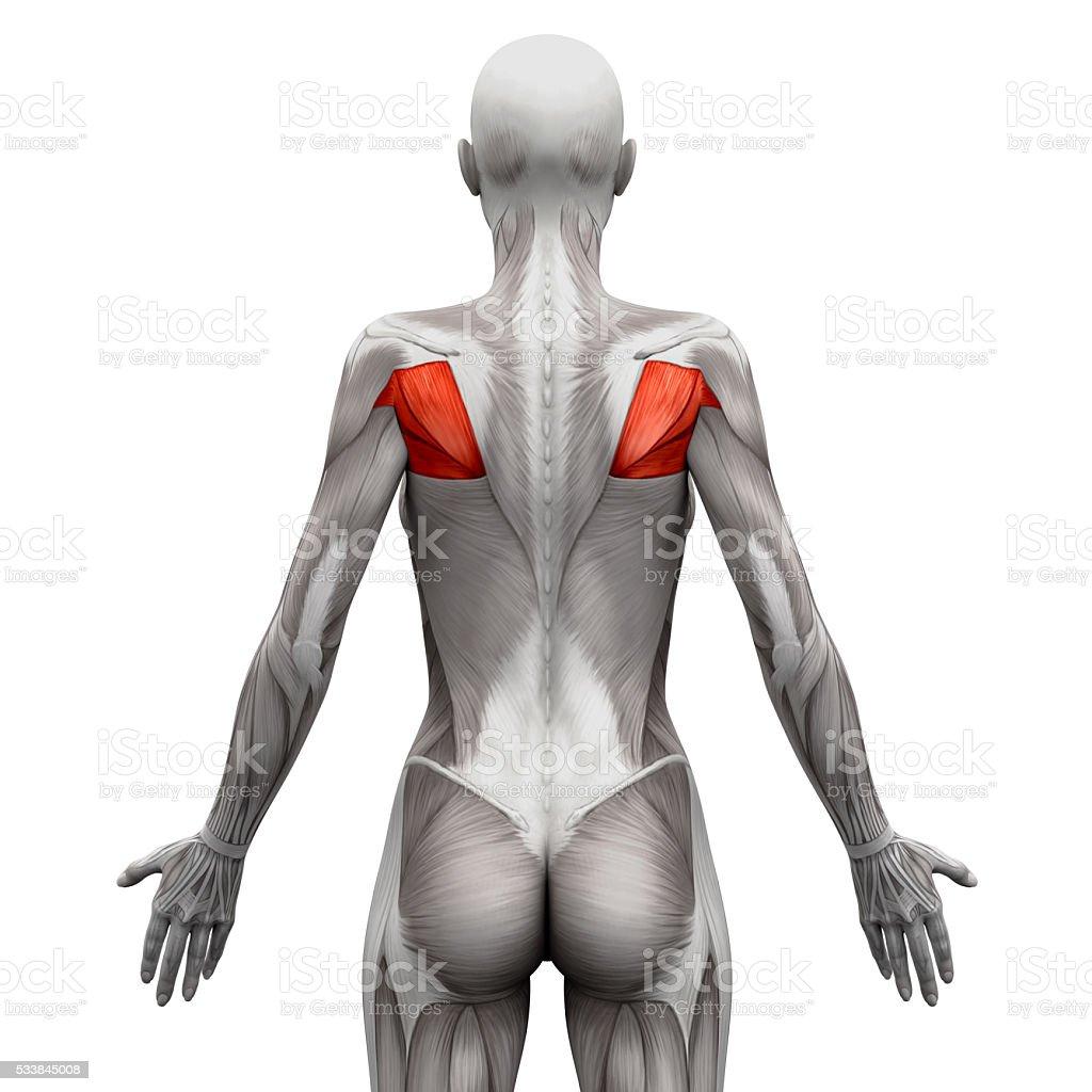 Musculus Teres Muskelnanatomie Muskeln Isoliert Auf Weißem Stock ...
