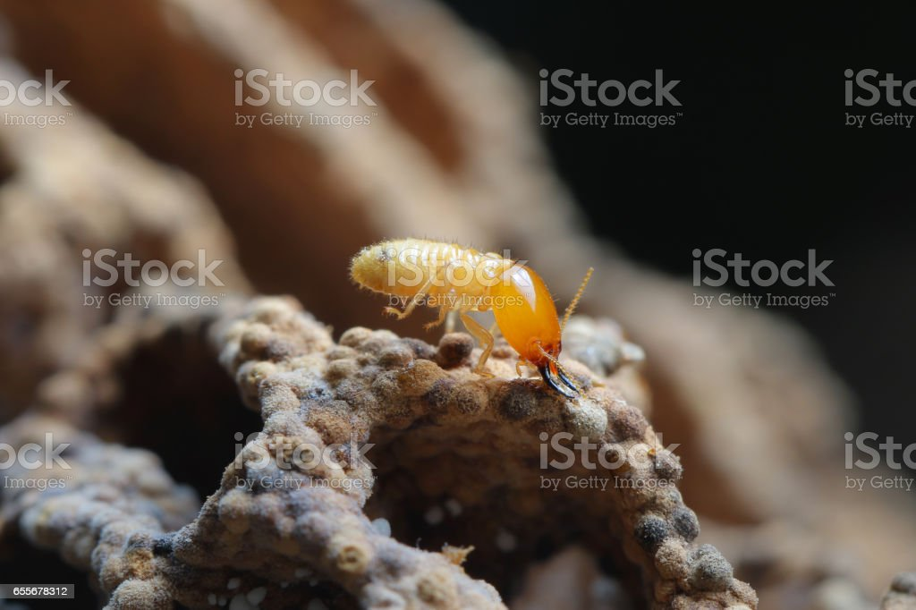 Termite and Termite mound on nature background in Southeast Asia. stock photo