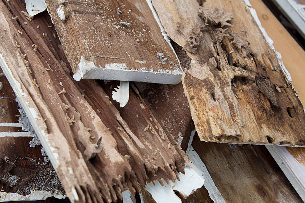termite damage rotten wood eat nest destroy concept termite damage rotten wood eat nest destroy termite stock pictures, royalty-free photos & images