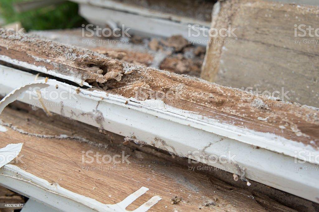 termite damage rotten wood eat nest destroy concept stock photo