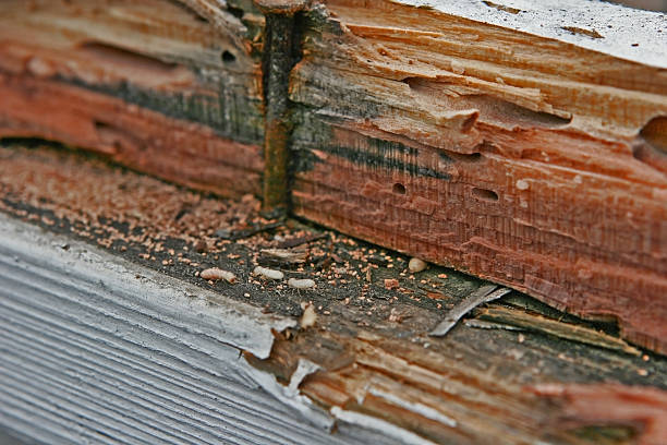 Termite Infestation Live termites eating wood. Frass or wood droppings present. termite stock pictures, royalty-free photos & images
