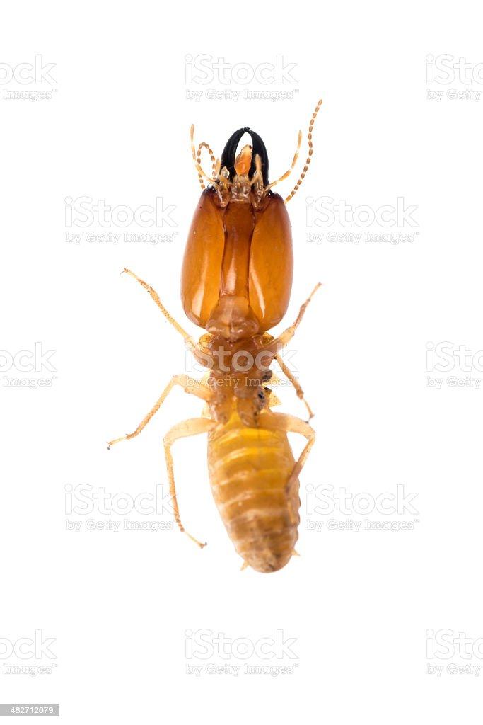 termite isolated stock photo