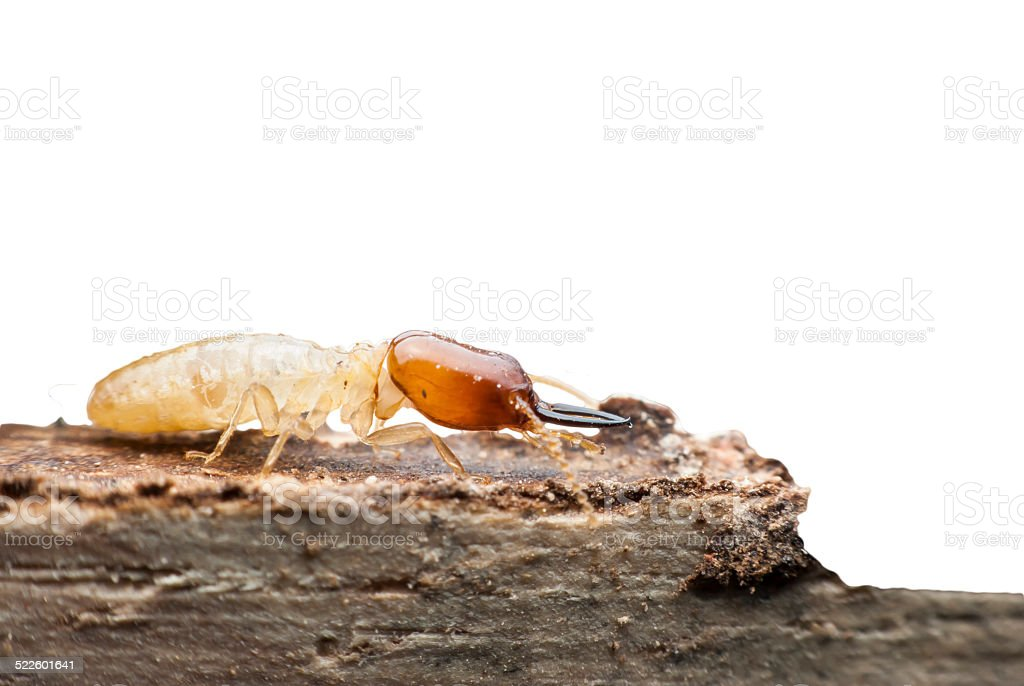 Termite macro on decomposing wood stock photo