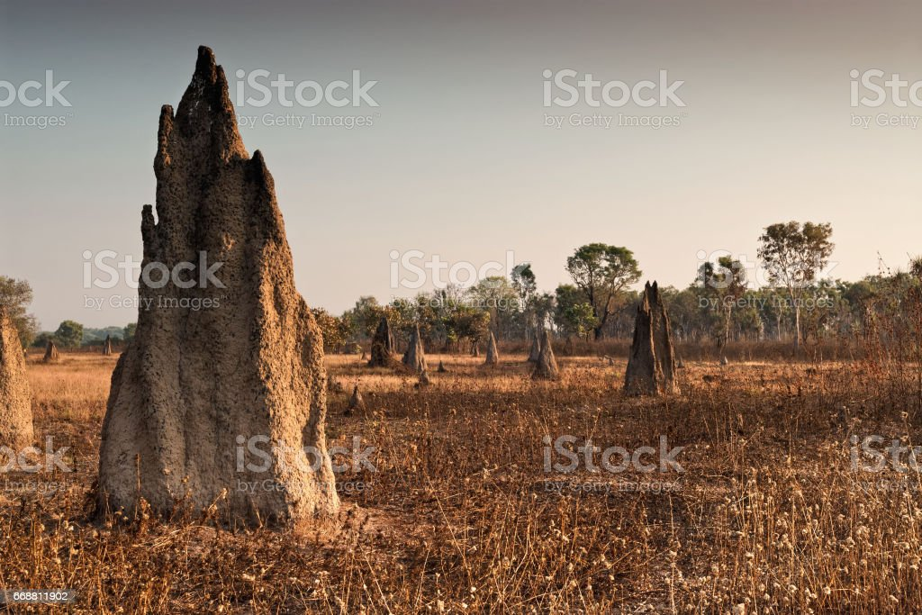 Termite mounds at dawn. Northern Territory, Australia stock photo