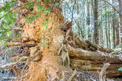 485413653istockphoto Termite mount built on the root structure of a large fallen tree trunk 1092139666