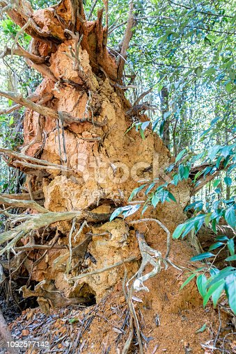 485413653istockphoto Termite mount built on the root structure of a large fallen tree trunk 1092577142