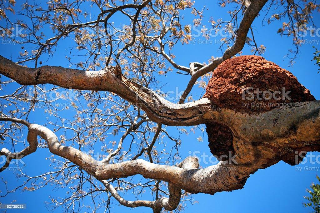 Ninho de térmitas em uma árvore do Cerrado brasileiro Savannah foto royalty-free