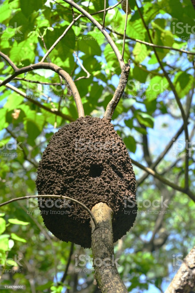 Termite Nest on a Tree Trunk High Above Dominican Republic Termite Nest on a Tree Trunk High Above Dominican Republic Above Stock Photo