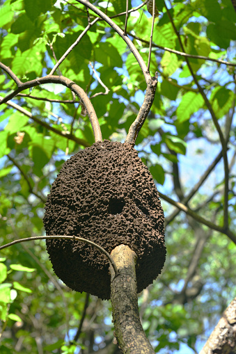 Termite Nest On A Tree Trunk High Above Dominican Republic Stock Photo - Download Image Now