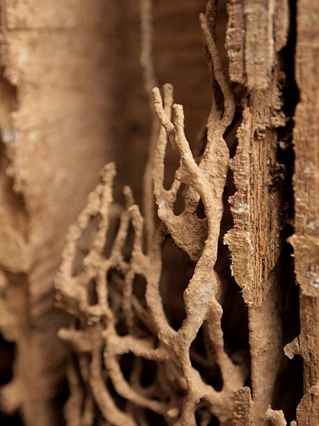 Termite Nest Termite Nest in wood houses isoptera stock pictures, royalty-free photos & images